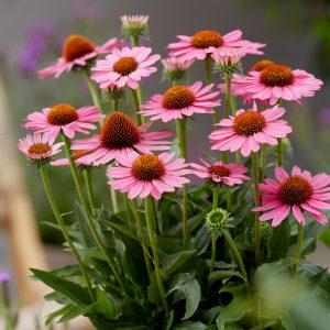 Echinacea purpurea 'Sunseekers Pink' (Purpursolhat)