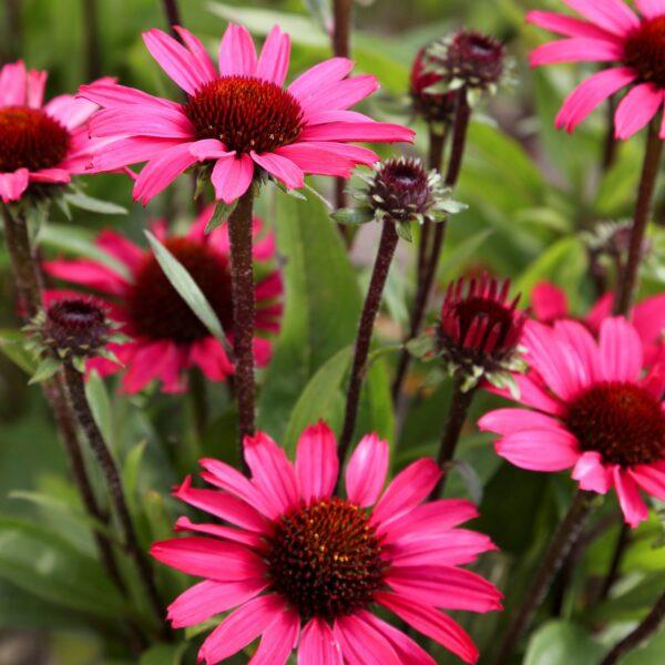 Echinacea purpurea 'Sunseekers Purple' (Purpursolhat)