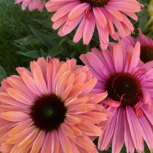 Echinacea purpurea 'Sunseekers Rainbow' (Purpursolhat)