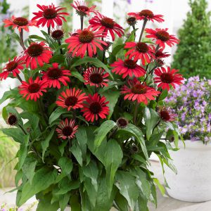 Echinacea purpurea 'Sunseekers Red' (Purpursolhat)