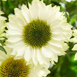 Echinacea purpurea 'Sunseekeers White Perfection' (Purpursolhat)