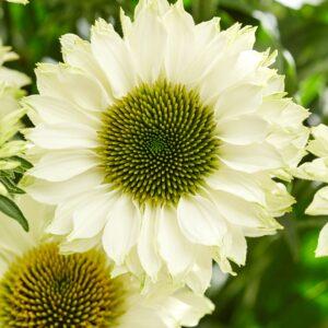 Echinacea purpurea 'Sunseekeers White Perfection' (Purpursolhat)