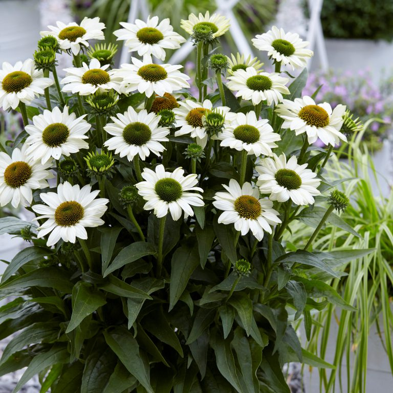 Echinacea purpurea 'Sunseekers White' (Purpursolhat)