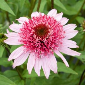 Echinacea purpurea 'Semi Double Pink' (Purpursolhat)