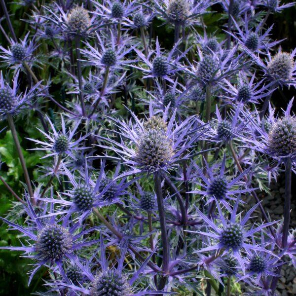 Eryngium 'Lapis Blue'