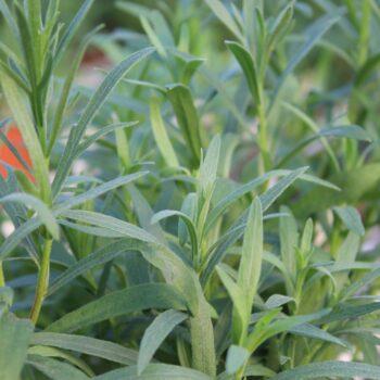 Artemisia dracunculus (Russisk Estragon)