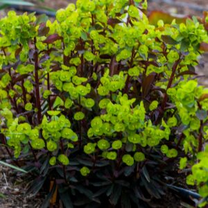 Euphorbia amygdaloides 'Purpurea' (Vortemælk)