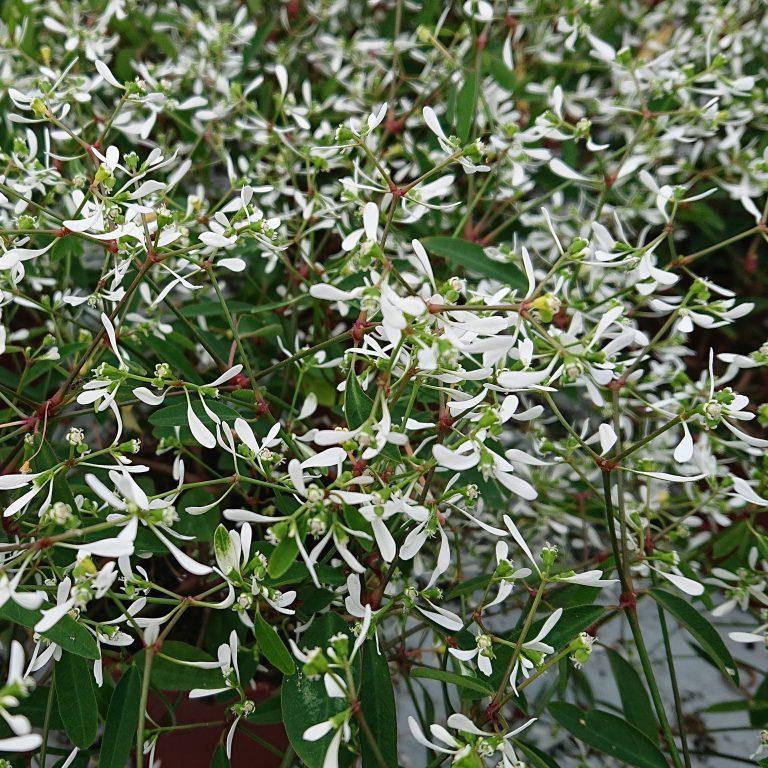 Euphorbia hypericifolia 'Diamond Frost' (Vortemælk)