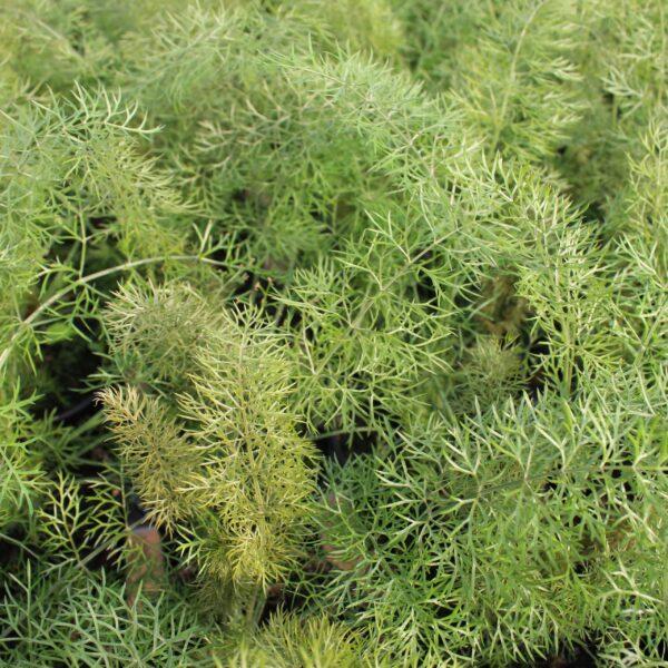 Foeniculum vulgare 'Smokey' (Bronze fennikel)