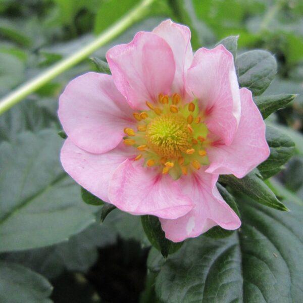 Fragaria x ananassa (Remonterende Jordbær)