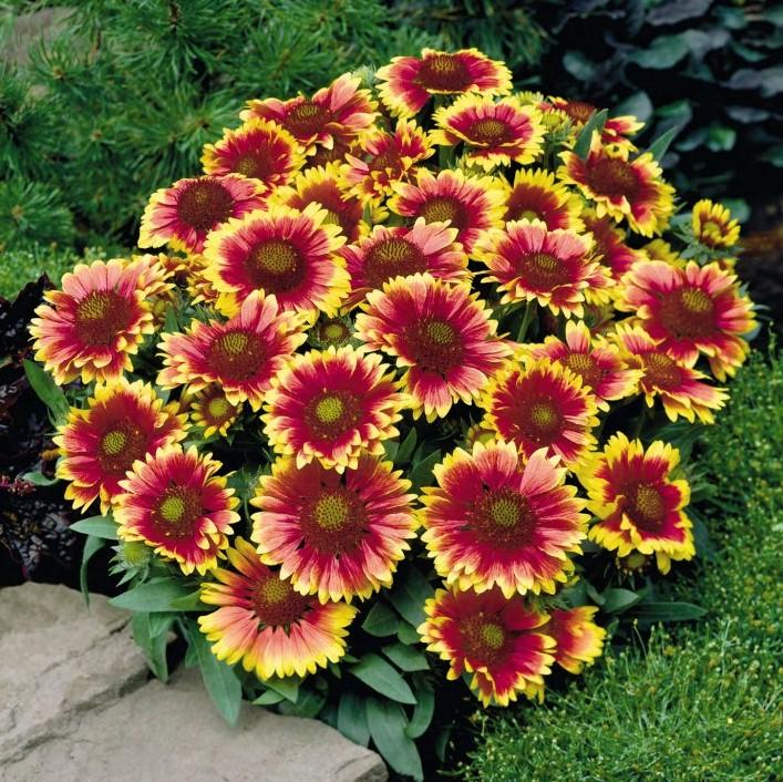 Gaillardia x grandiflora 'Arizona Sun' (Kokardeblomst)