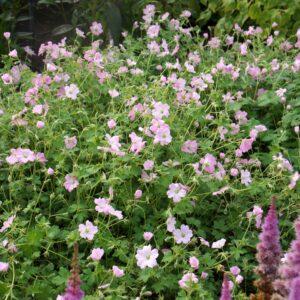 Geranium hybrid 'Dreamland' (Storkenæb)