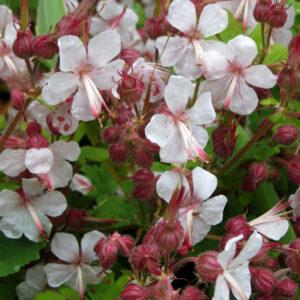 Geranium macrorrhizum 'Spessart' (Storkenæb)