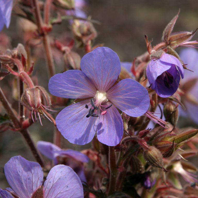 Geranium prat. Hocus Pocus