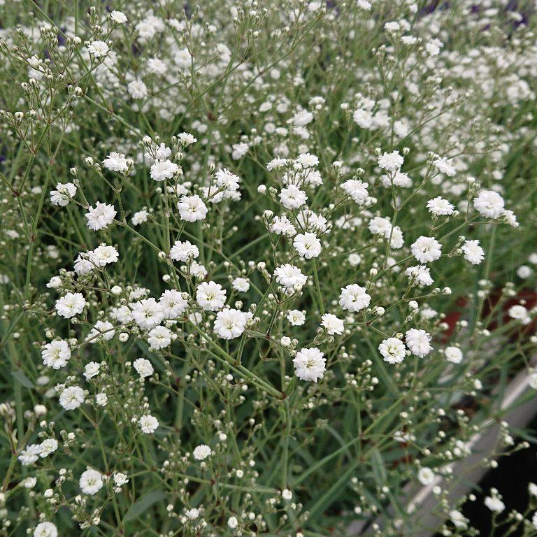 Gypsophila paniculata 'Festival White (Brudeslør)