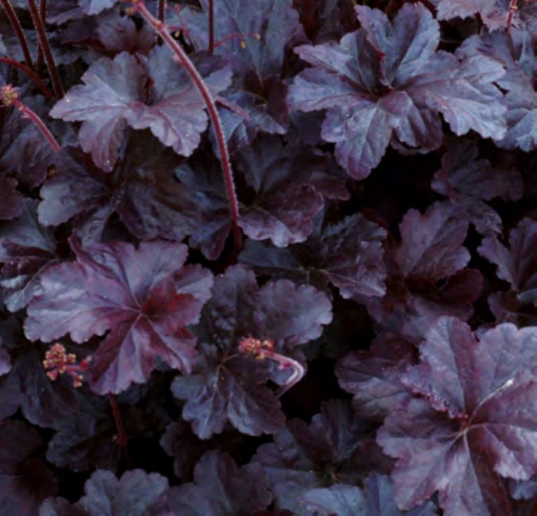 Heuchera x hybrida 'Obsidian' (Alunrod)