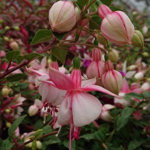 Fuchsia x hybrida (Fuchsia, hænge)