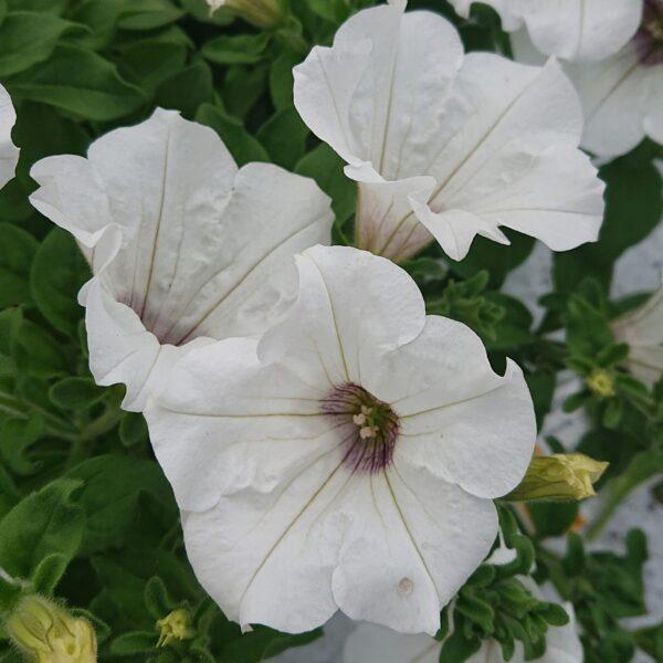 Petunia x hybrida (Hænge Petunia)