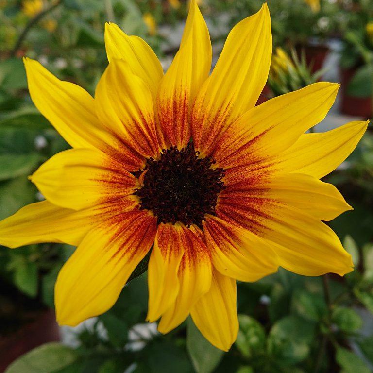 Helianthus hybrid 'Sunbelievable Brown Eyed Girl' (Solsikkebusk)