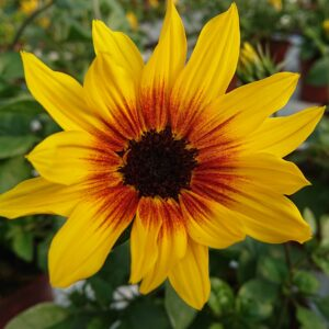 Helianthus hybrid 'Sunbelievable Brown Eyed Girl' (Solsikkebusk)