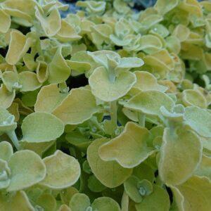 Helichrysum petiolare (Grå Evighedsblomst)