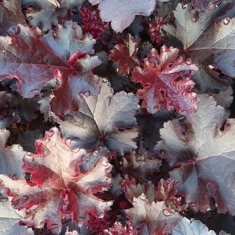 Heuchera hybrid 'Black Beauty' (Alunrod)