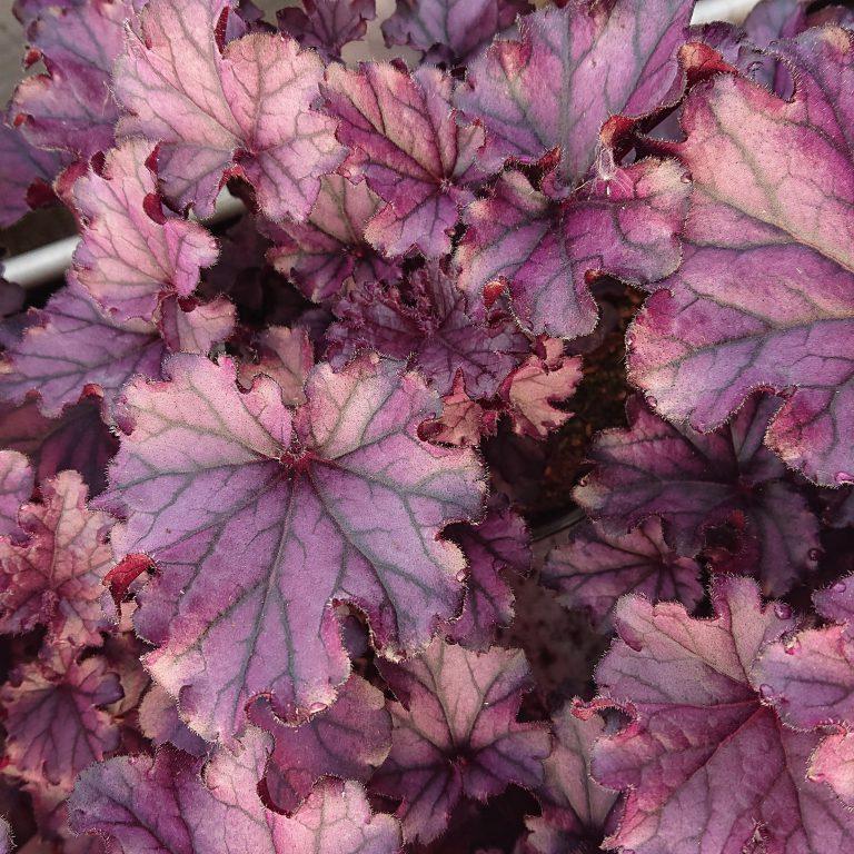 Heuchera x hybrida 'Forever Purple' (Alunrod)