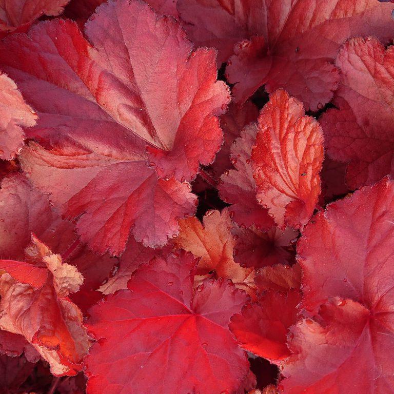 Heuchera hybrid 'Forever Red' (Alunrod)