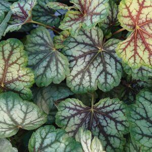 Heuchera x hybrida 'Green Spice' (Alunrod)