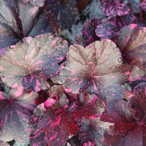 Heuchera x hybrida 'Midnight Rose' (Alunrod)