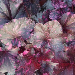 Heuchera x hybrida 'Midnight Rose' (Alunrod)