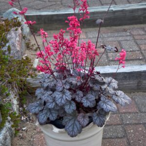 Heuchera x hybrida 'Timeless Treasure' (Alunrod)