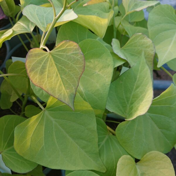 Ipomoea batatas 'Treasure Island Makatea' (Sødkartoffel)