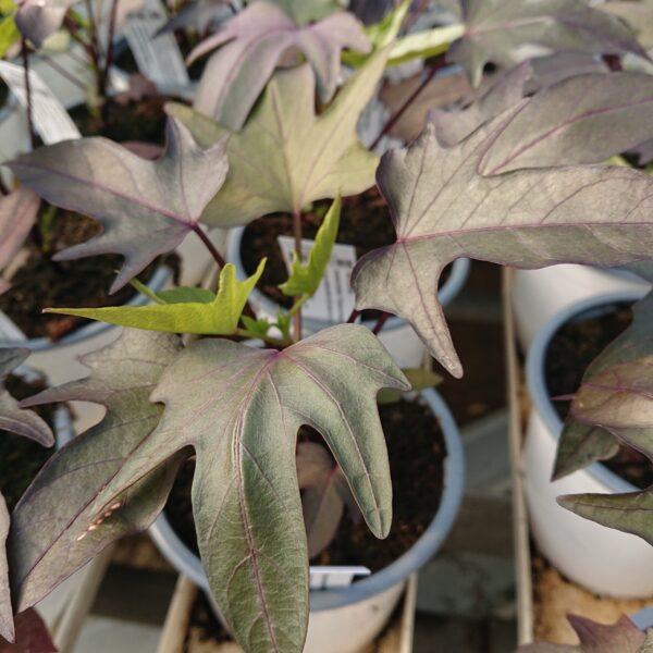 Ipomoea batatas 'Treasure Island Manihi' (Sødkartoffel)