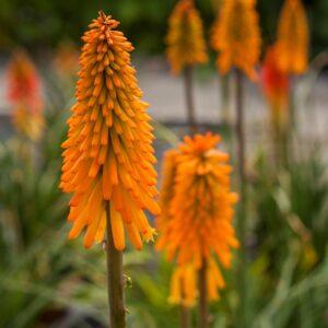 Kniphofia hybrida 'Mango Popsicle' (Raketblomst)