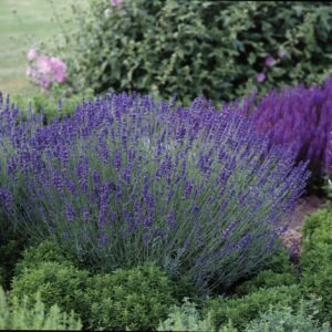 Lavendula angustifolia 'Hidcote Blue' (Lavendel)