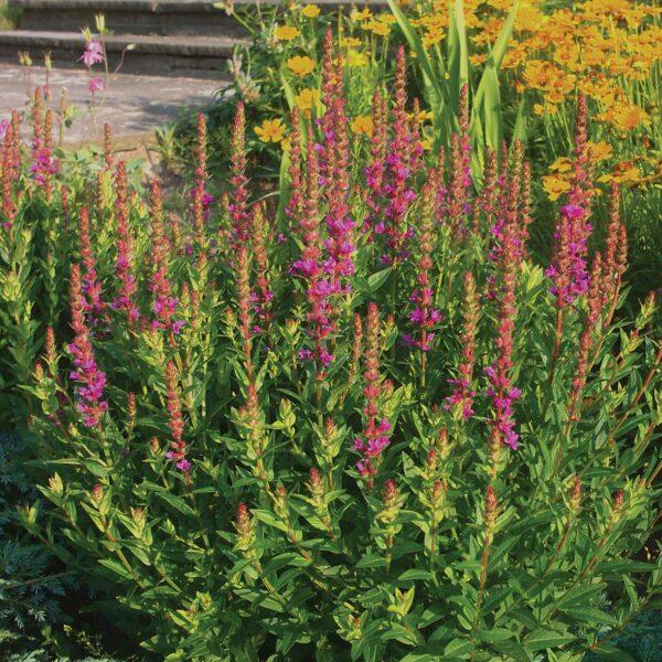Lytrum salicaria 'Robert' (Kattehale)
