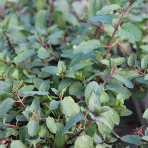 Mentha X Piperita (Pebermynte)