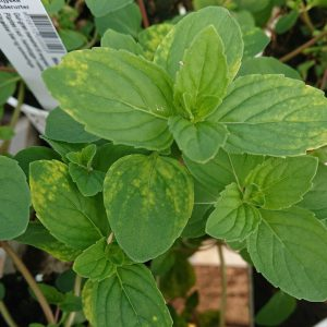 Mentha X gracilis 'Ginger' (Ingefærmynte)