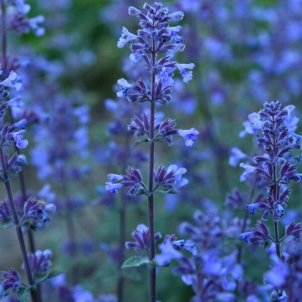Nepeta faassenii 'Purrsian Blue' (Blåkant)
