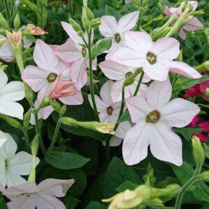 Nicotiana x alata (Tobaksblomst / Prydtobak)