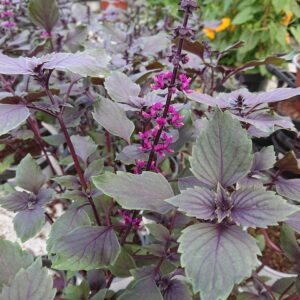 Ocimum herbalea 'Wild Magic' (Basilikum)