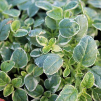 Origanum vulgare 'Aureum Variegata' (Hvidbroget oregano)