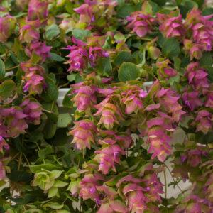 Origanum rotundifolium 'Bellissimo' ( Pryd merian)
