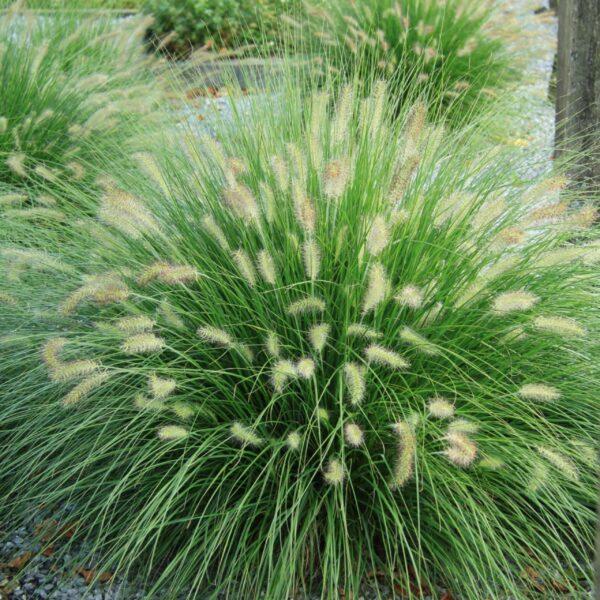 Pennisetum alopecuroides 'Hameln' (Lampepudsergræs)
