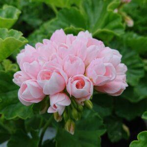 Pelargonium zonale 'Emma' (Special Pelargonie)