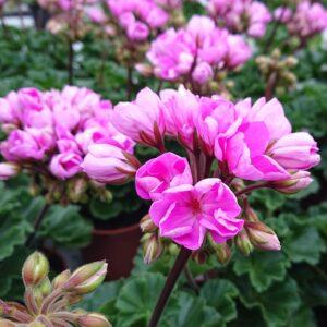Pelargonium zonale 'Princesse Linea' (Special Pelargonie)