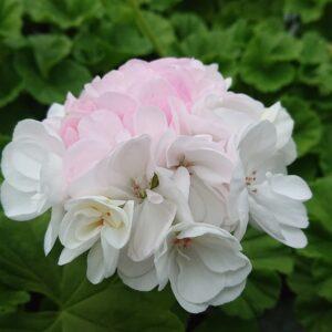 Pelargonium zonale 'Princesse Karla' (Special Pelargonie)