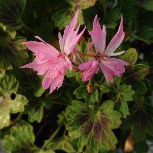 Pelargonium 'Minnie'