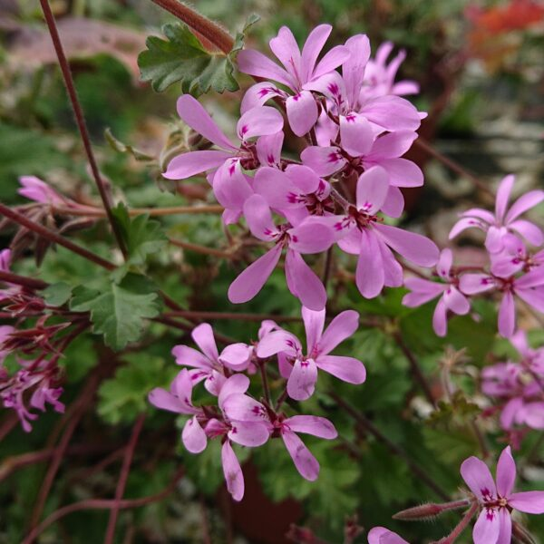 Pelargonie pink pinks